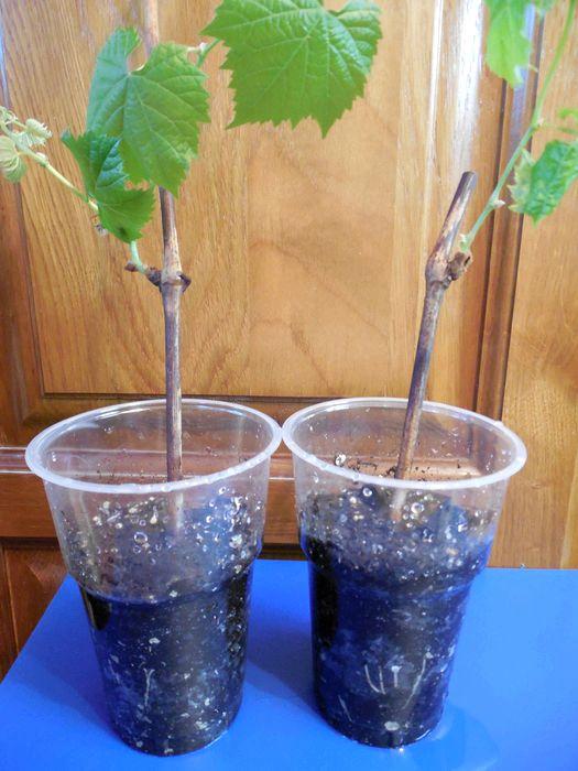 как из винограда сделать самогон видео