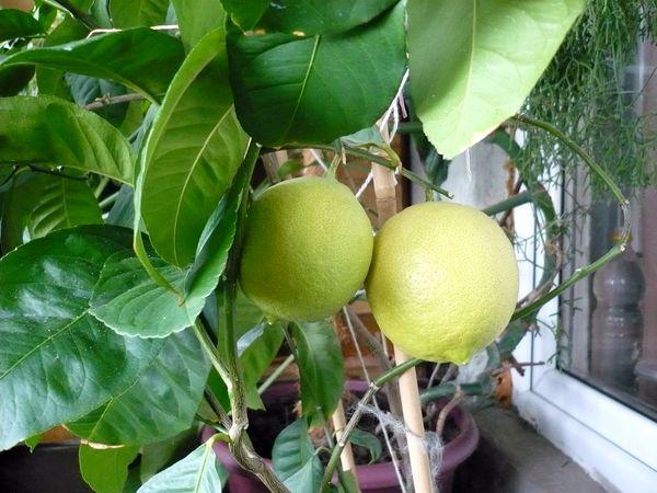 Как опылить в домашних условиях лимон