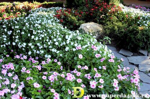 Бальзамин уоллера фото цветов рассада когда сажать 85