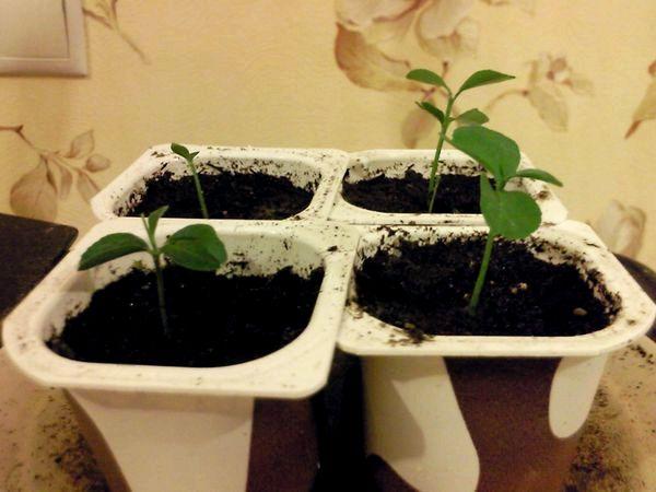 Мандариновое дерево домашнее уход в домашних условиях - Чай-клуб